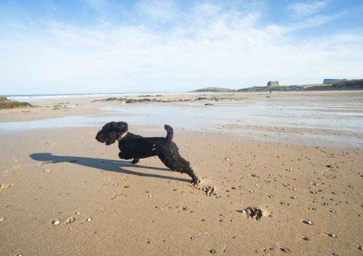 A dog running on Fistral Beach