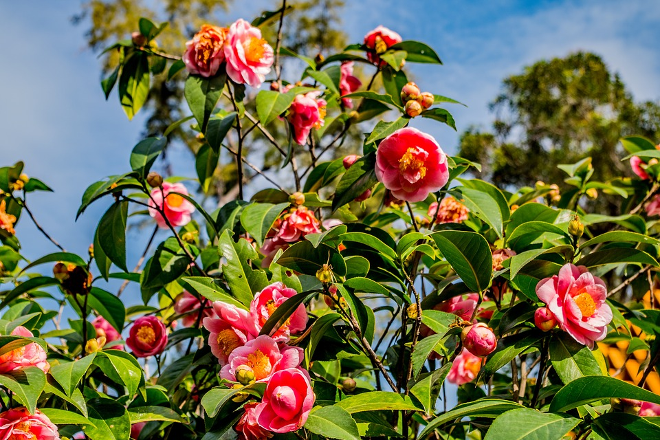 Camellias in Cornwall
