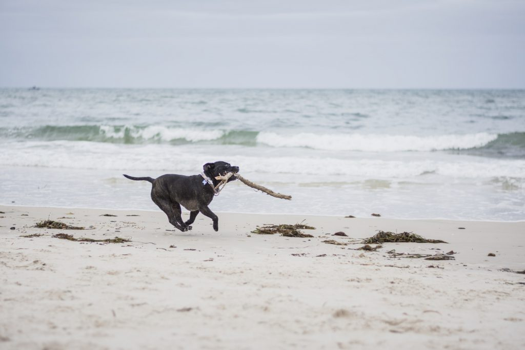 dog running with a stick on the beach