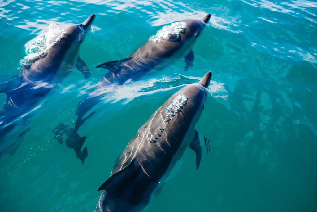 Three dolphins swimming together