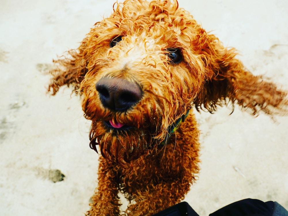 A brown labradoodle on the beach