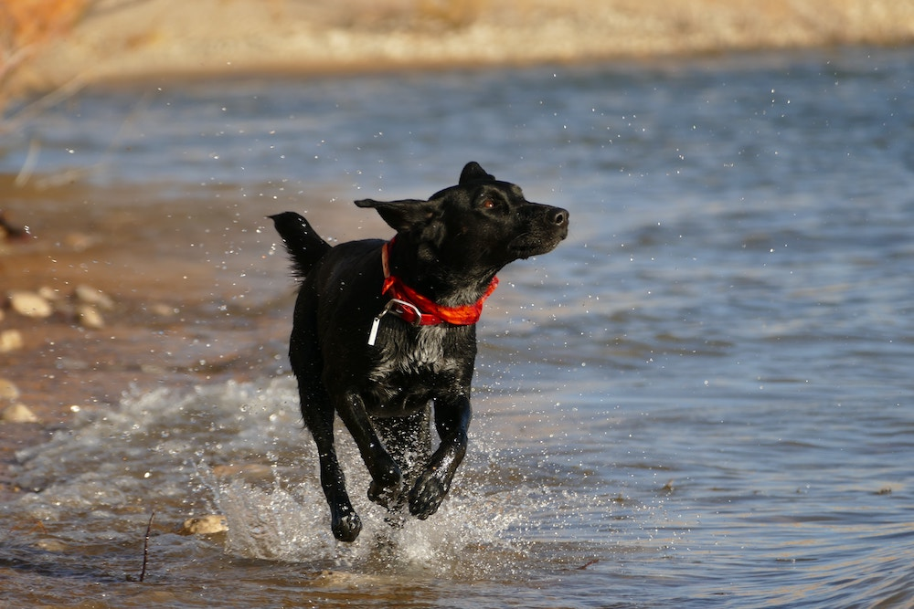 A dog running in the water on a beach