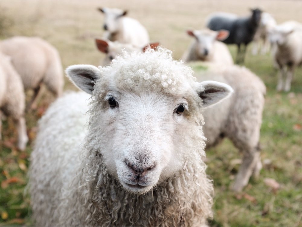 A close-up picture of a sheep