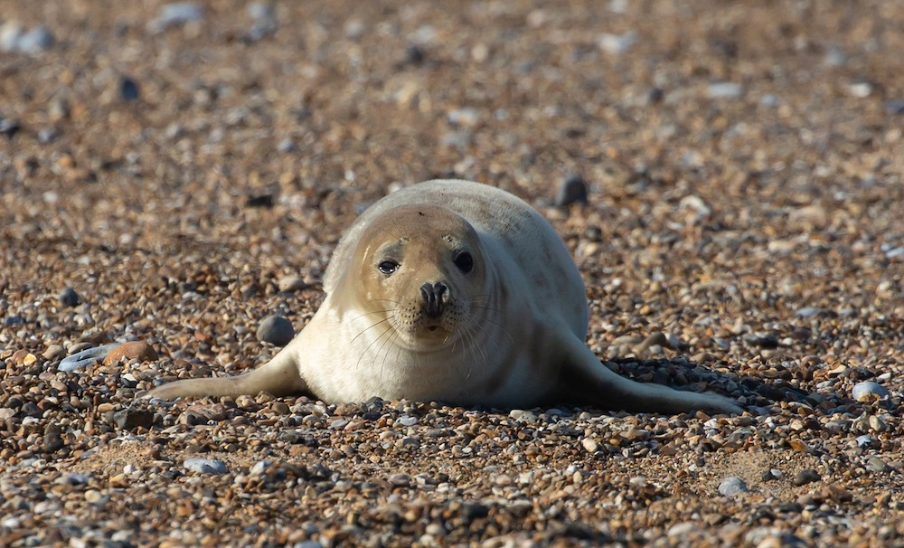 A grey seal pup lying on the beach