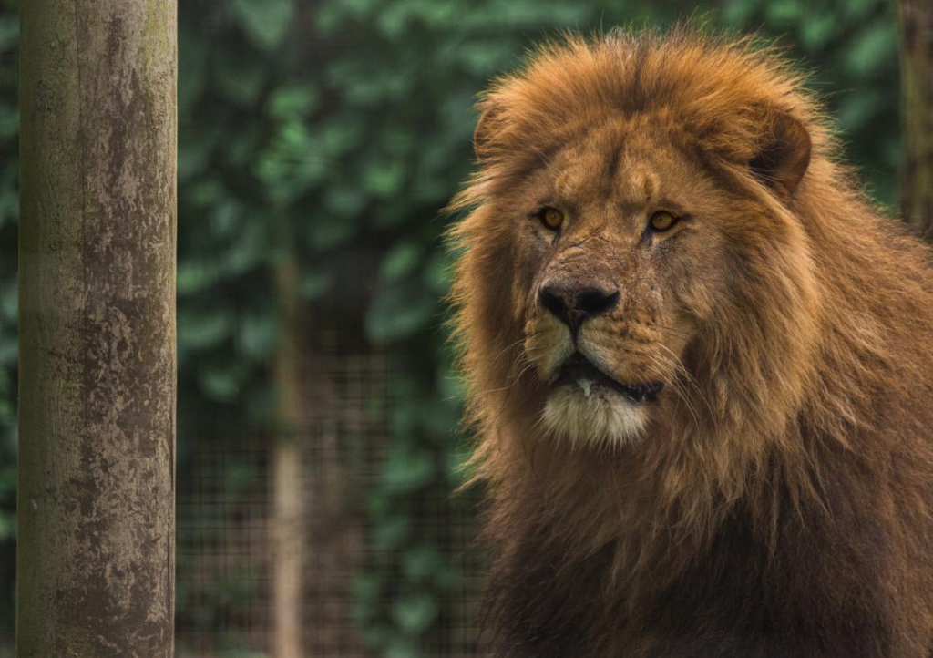 A lion at Newquay Zoo