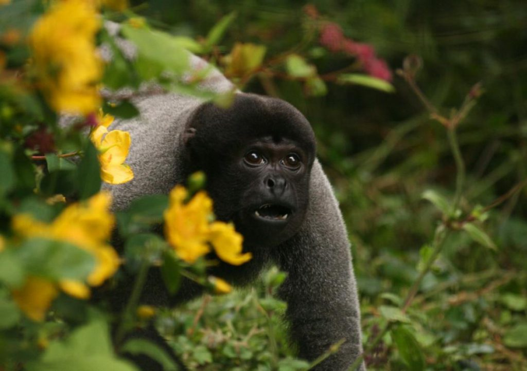 A black and grey monkey among grass and yellow flowers